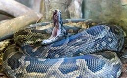 打呵欠的蛇 图库摄影