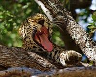 打呵欠的豹子 免版税库存图片