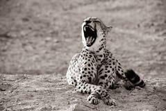 打呵欠的豹子 免版税图库摄影