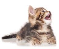 打呵欠的逗人喜爱的小猫 图库摄影