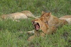 打呵欠的雌狮 免版税库存照片