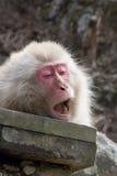 打呵欠的雪猴子 库存图片