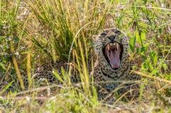 打呵欠的非洲豹子,南Luangwa,赞比亚 库存图片