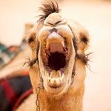 打呵欠的骆驼 库存照片