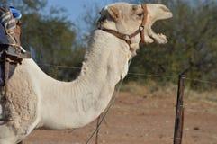 打呵欠的骆驼 免版税库存照片