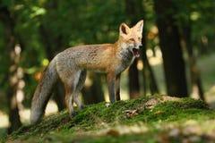 打呵欠的Fox 库存照片