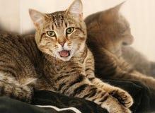 打呵欠笼子的猫 免版税图库摄影