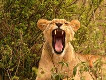 打呵欠肯尼亚的雌狮 图库摄影