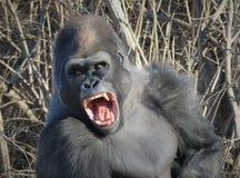 打呵欠象金刚的大猩猩! 库存照片