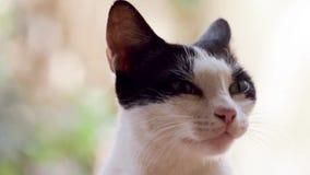 打呵欠逗人喜爱的猫 影视素材