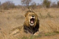 打呵欠野生公的狮子,克鲁格国家公园,南非 免版税库存照片