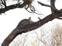 打呵欠非洲的豹子 库存图片