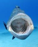 打呵欠黑色的石斑鱼 免版税库存照片