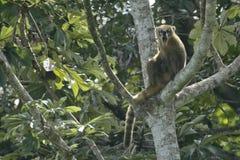 打呵欠,抓在树的长鼻浣熊 免版税库存图片