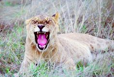 打呵欠崽的狮子 免版税库存照片