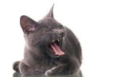 打呵欠Chatreaux的小猫 免版税库存图片