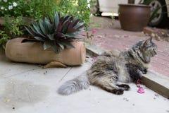 打呵欠Perisan三色的猫 免版税库存照片