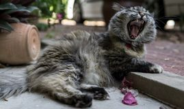 打呵欠Perisan三色的猫 库存照片