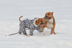 打在雪盖子的两条斯塔福德郡狗狗一方得零分的一局 库存图片