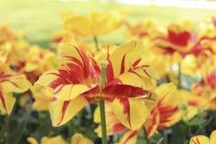 打开与红色条纹的黄色郁金香 库存图片