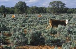 打开吃草牛, UT的范围 图库摄影