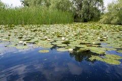 打开在多瑙河三角洲的百合 图库摄影