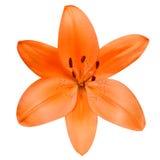 打开在白色背景隔绝的橙色百合花 库存照片
