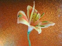 打开在背景隔绝的橙色百合花 免版税库存照片