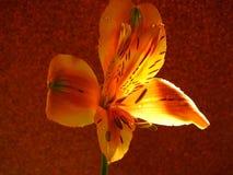 打开在背景隔绝的橙色百合花 库存照片
