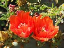 打开对沙漠太阳的两朵仙人球花 图库摄影