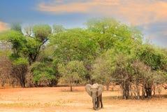 打开平原在有一个一非洲大象常设内容的非洲反对sunsetting的天空,南卢安瓜国家公园,赞比亚 免版税图库摄影