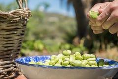 打开新鲜的蚕豆的荚手 落在板材的蚕豆 免版税库存照片