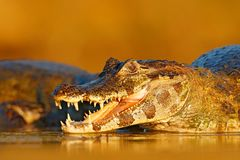 打开有大牙的鳄鱼枪口 Yacare凯门鳄在水厂中,与开放枪口,潘塔纳尔湿地,巴西的鳄鱼画象  Det 免版税库存图片