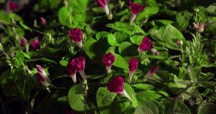 打开的野花(番薯属purpurea)与昆虫和蜗牛Timelapse 4k一起 股票录像