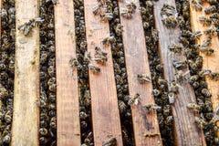 打开蜂蜂房 与蜂窝的板条在蜂房 沿蜂房的蜂爬行 蜂详述蜂蜜查出的宏指令被堆积的非常白色 免版税库存图片