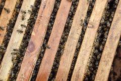 打开蜂蜂房 与蜂窝的板条在蜂房 沿蜂房的蜂爬行 蜂详述蜂蜜查出的宏指令被堆积的非常白色 免版税图库摄影