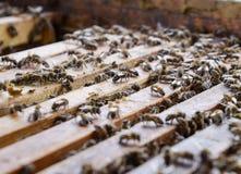 打开蜂蜂房 与蜂窝的板条在蜂房 沿蜂房的蜂爬行 蜂详述蜂蜜查出的宏指令被堆积的非常白色 免版税库存照片
