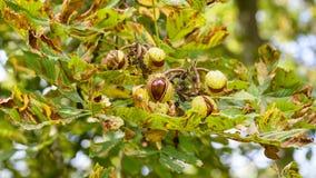 打开A的欧洲七叶树树的果子 免版税库存照片