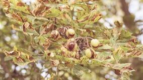 打开B的欧洲七叶树树的果子 免版税库存照片