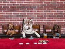 打扑克的三条狗 免版税库存照片