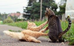 打比赛的两只猫 免版税库存图片