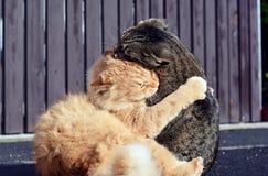 打比赛的两只猫 免版税图库摄影