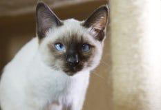 打滑头发的小猫暹罗类型湄公河短尾,无尾部 库存图片