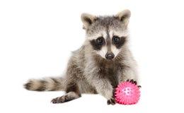 打玩具球的浣熊 免版税库存照片