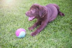 打球的拉布拉多猎犬小狗在后院 免版税图库摄影
