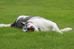 打球的爱斯基摩狗狗 库存图片