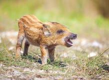 打电话的狂放的小猪在夏日 图库摄影