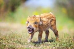 打电话的狂放的小猪在夏日 免版税库存图片