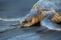 打盹的绿色忘却的海龟 免版税库存图片