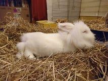 打瞌睡在地毯的白色狮子头兔子 免版税图库摄影